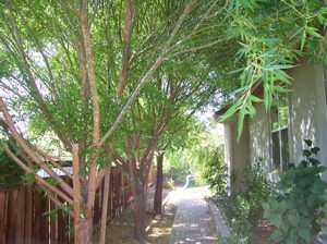 globe-willow-planted-to-close-to-house