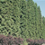 Arborvitae Tree Thumbnail Photo