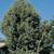 Arizona Cypress Tree thumbnail photo