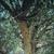 Chinese Elm Tree thumbnail photo