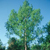 Dawn Redwood tree thumbnail photo