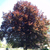 Dawyck Purple Beech Tree thumbnail photo
