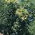 Golden Rain Tree thumbnail photo