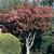 Hawthorn thumbnail photo
