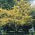 Honeylocust tree thumbnail photo