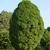 Hornbeam tree thumbnail photo