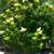 Japanese Lilac thumbnail photo