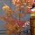 Japanese Maple Thumbnail Photo