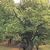 Japanese Pagoda Tree thumbnail photo