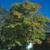 Kentucky Coffeetree thumbnail photo