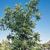 Oak Tree thumbnail photo