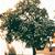 Osage Orange tree thumbnail photo