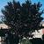 Plumb or Cherry Tree thumbnail photo