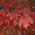 Redpointe Maple thumbnail photo