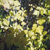 Rocky Mountain Maple Tree thumbnail photo