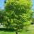 Tupelo tree thumbnail photo